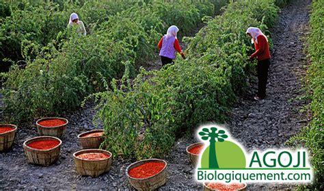 Lycium barbarum, graines de goji, lyciet à cultiver, ethnoplants