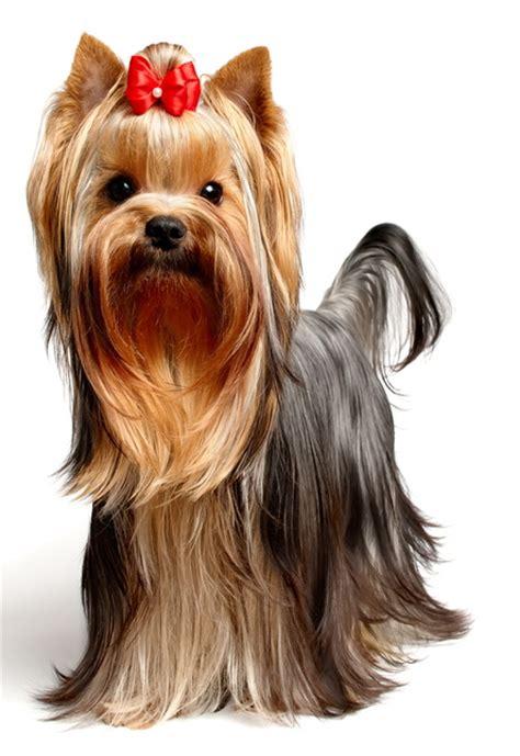 Geschirr Yorkshire Terrier