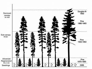 Douglas Fir Forest Vector