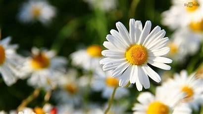 Daisy Background Backgrounds Desktop Flower