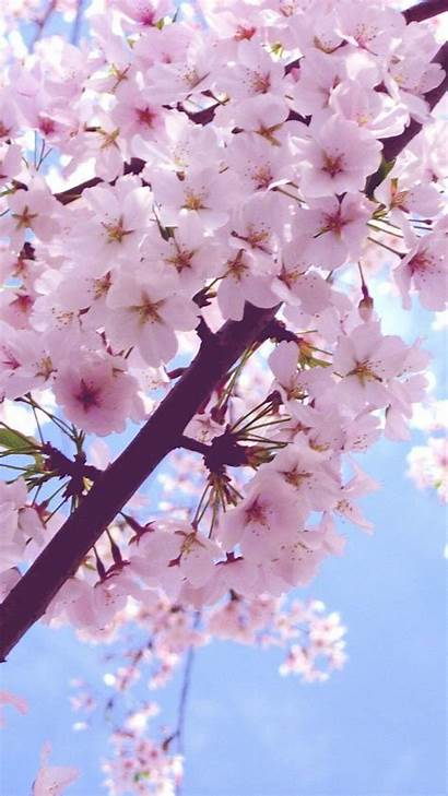 Cherry Blossom Backgrounds Flowers Wallpapers Iphone Plus