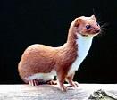 Weasel - Wikipedia