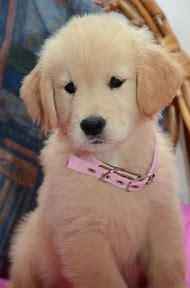 Cute Baby Golden Retriever Puppies