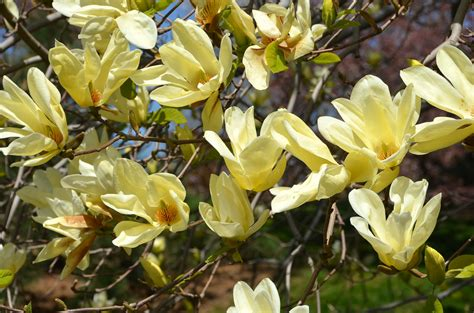 magnolia tree varieties australia magnolia elizabeth magnolia elizabeth yellow magnolia flickr