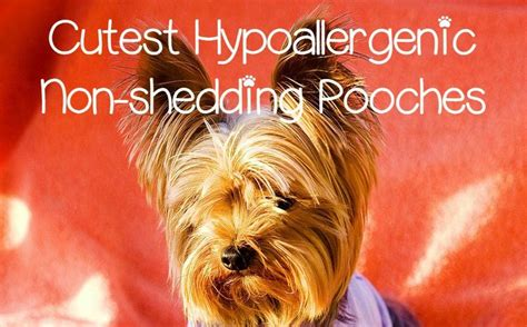 Dogs That Dont Shed For Adoption by 5 Small Hypoallergenic Dogs That Don T Shed Dogvills