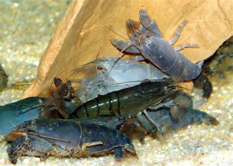 aquarium crabe eau douce 28 images aquarouen projet aquaterarium pour crabe africain du