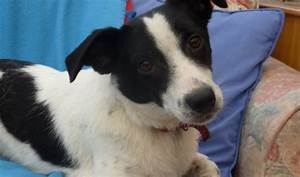 Spot – 1 year old female Collie cross Jack Russell Terrier ...