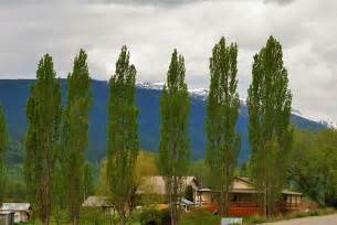 Tall Narrow Evergreen Trees for Privacy