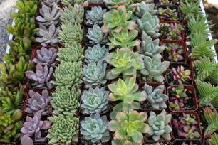 """200 Wedding collection Beautiful Succulents in their plastic 2"""" Pots great as Party Gift WEDDING FAVORS echeverias rosettes~"""