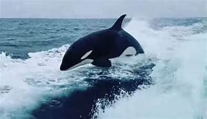 Orcas Give Fishermen  U2018insane U2019 Show In Unusual Place