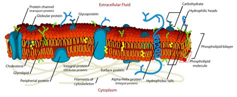File Cell Membrane Detailed Diagram Edit Svg Wikipedia