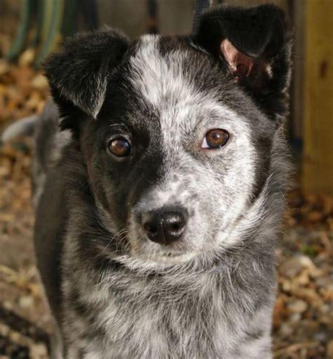 border collie australian cattle dog blue heeler mix dog