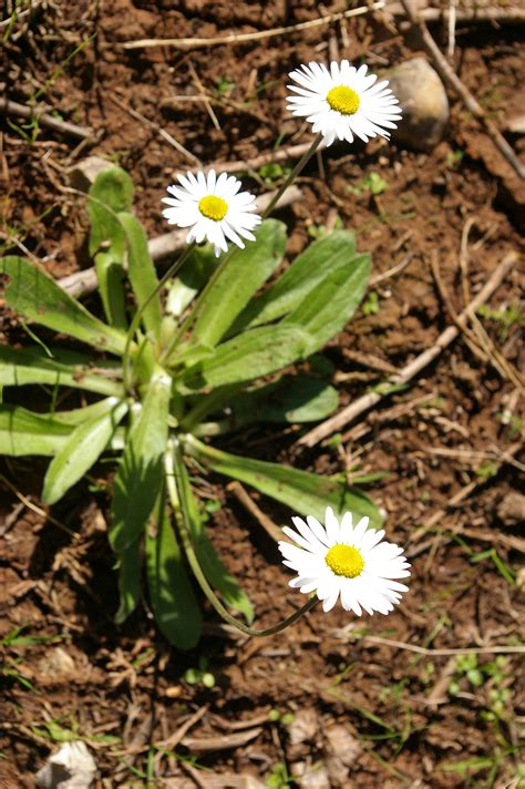 Bellis sylvestris - Wikispecies