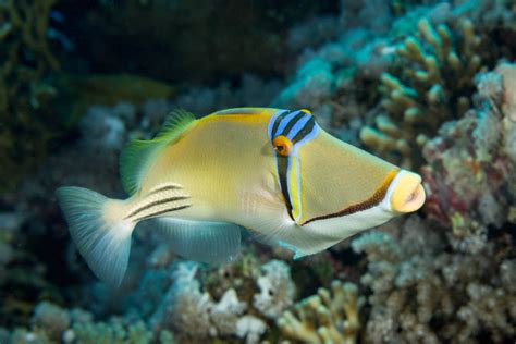 fish tropical picasso triggerfish sea rhinecanthus assasi reefs around