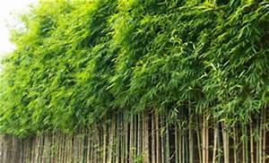 Bambus Pflanzen Kübel : fargesia murielae muriel bambus pflanzen pflege und wachstum ~ Frokenaadalensverden.com Haus und Dekorationen