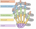 Bones and joints of the human hand, DIP-Distal ...