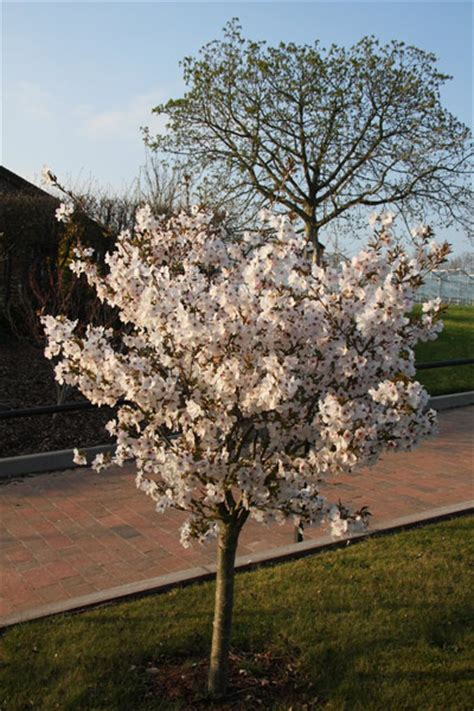 prunus trees for small gardens buy ornamental cherry prunus the bride delivery by crocus