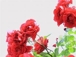 Rosen Und Stauden Kombinieren : gute partner im beet rosen und stauden lassen sich wirkungsvoll kombinieren ~ Orissabook.com Haus und Dekorationen
