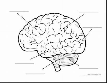 Brain Human Parts Diagram Anatomy Printable Coloring