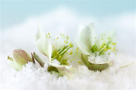 cuisine a tout faire fleurs d hiver et pétales blancs le mag de flora le mag de flora