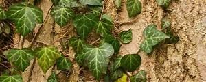 Pflanze Mit Z : geheimnissvolle rankende wunderplfanze efeu ~ Lizthompson.info Haus und Dekorationen