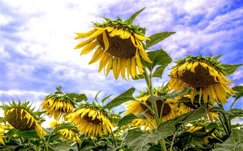 sunflower sunny summer days desktop backgrounds