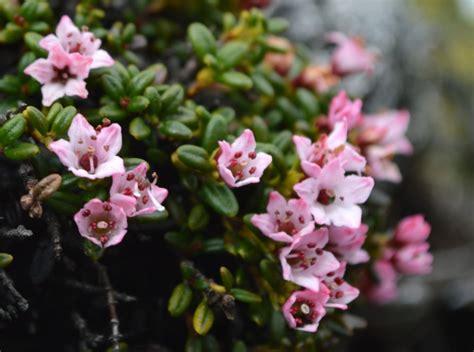 Imperiled Alpine Plants Alpine Azalea Adirondack