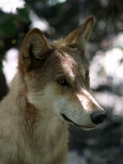 Mongolian Wolf Zoochat
