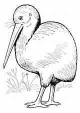Kiwi Bird Coloring Pages Animal sketch template