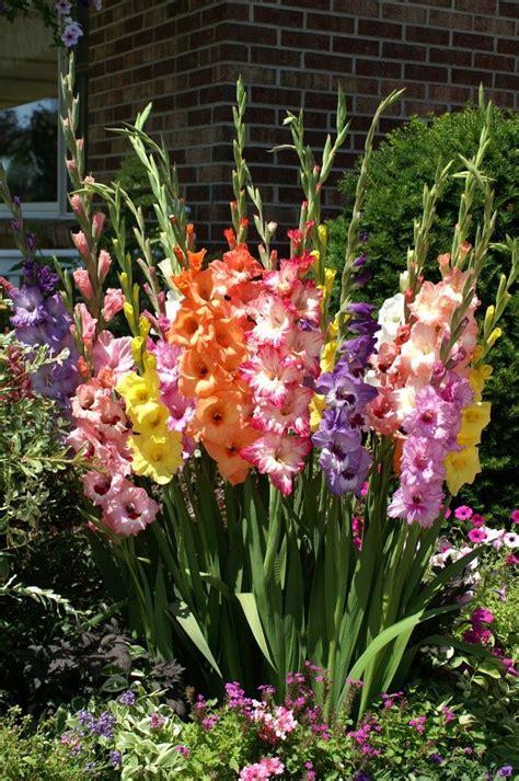 17 best ideas about gladiolus flower on