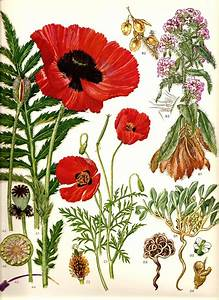 Vintage 1970 Red Poppy Color Art Print Wild Flowers