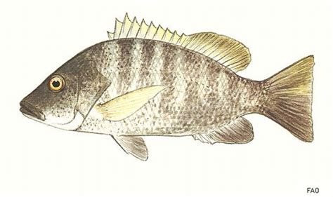 lutjanus goldiei niugini bass