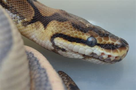 reptile facts a post about hydration and shedding