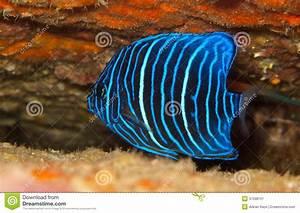 Blue Angelfish Juvenile | www.imgkid.com - The Image Kid ...