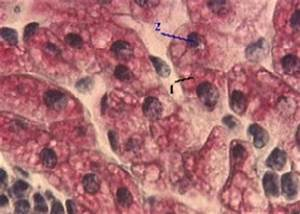 Включения гликогена в клетках печени аксолотля описание препарата
