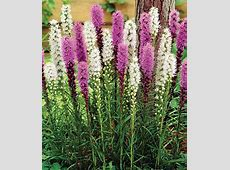 Blazing Stars Mixed Liatris Seeds and Plants, Flowers at