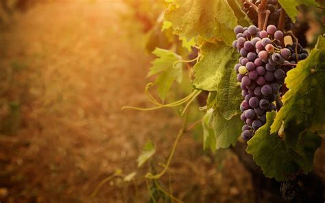 grape plant pictures wallpapers grapes wallpaper cave