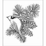 Pine Cone Cardinal Coloring Branch Printable Drawing Bird Bough Stamps Creations Heartfelt Sketch Cardinals Outline Cones Wood Overstock Birds Pinecones sketch template