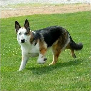 Panda German Shepherd dog | It's A German Shepherd Thing ...