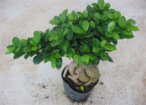 bonsai da interno bonsai da interno il ficus ginseng pollicegreen