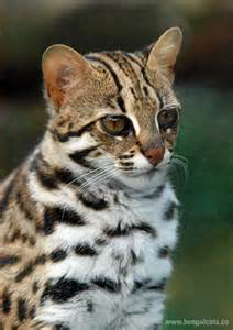 leopard cat asian leopard cat felis bengalensis bengal cats