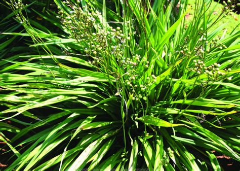 dianella ensifolia  dc nature