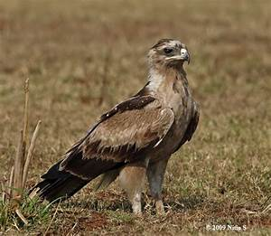 Oriental Bird Club Image Database : Indian Spotted Eagle ...