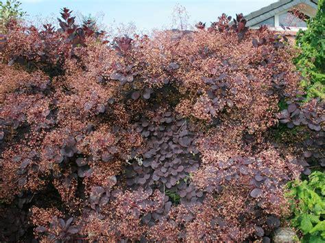 roter hartriegel schneiden roter per 252 ckenstrauch royal purple cotinus coggygria royal purple baumschule horstmann