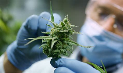 Scientists Find Cannabis Compound More Effective Than ...