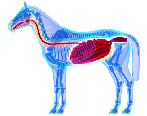 horse digestive system equine digestion stomach horses function ruminant understanding non ruminants herbivore works intestinal management reduce help care its