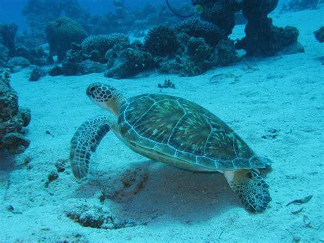 juvenile green sea turtle prilfish flickr