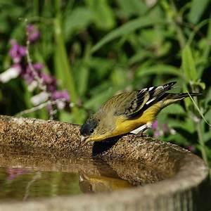 Lesser goldfinch - Wikipedia  Lesser
