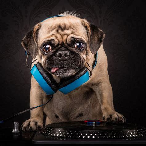 aussie photographer combines pugs hip hop   pug life