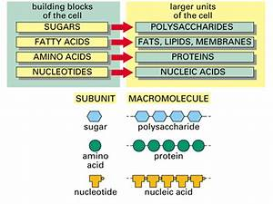 Macromolecules Are Large Organic Molecules  Macromolecule